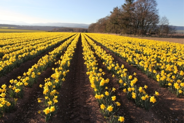 Daffodil field in the Mearns